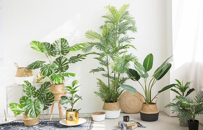 甲醛克星植物