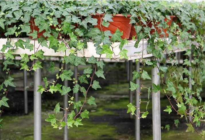 除甲醛植物排名-常春藤獲冠軍