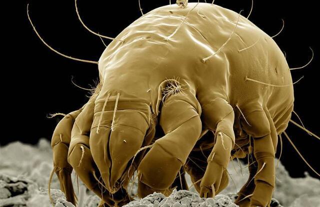 蟎蟲圖片-粉蟎