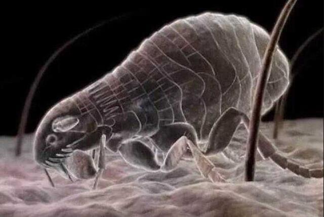 毛囊蟎蟲照片